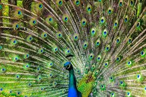 Picture Of Peacock Sri Lanka Nature Photo Image Landscape Photograph HD Images