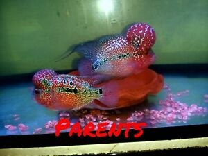 "5 pack VIP SRD Flowerhorn fry 1.5-2""  Huge kok Gene awesome fish"