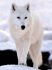 WHITE SNOW WOLF ON MOUNTAIN - 3D MOVING PICTURE 300mm x 400mm - UK SELLER