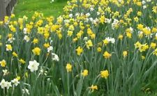 100 WILD DAFFODIL bulbs LENT LILY  BUTTERCUP  Free Fast Shipping
