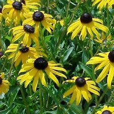 Rudbeckia Fulgida Goldstrum - 100 Graines 100 Zaden 100  Seeds