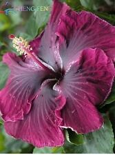 AA 10PC hibiscus flower seeds giant hibiscus seed Red Purple Color