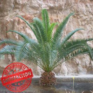 2 Hardy Phoenix Palm Trees Tropical Garden Outdoor Patio Yard 80-100cm Tall Pair
