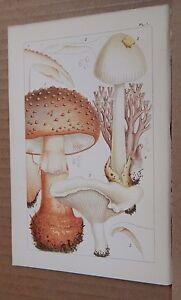 Antique Print British Edible Fungi 1891 Colour  Lithograph 7.5  x 5 inches v11