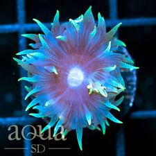New listing Asd - 012 Frozen Duncan - Wysiwyg - Aqua Sd Live Coral Frag
