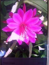 Epiphyllum Bumpkin. Cacti/succulents. 15cm Long. Stunning Pink Flowers. 9cm pot.