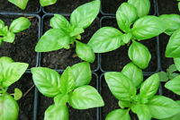 Herb - Basil Vegetable Seeds Heirloom select QTY