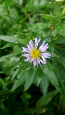 Aster Daisy Late Sum/ Aut flowering Lilac and yellow easy to grow, ready now