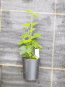 Hop vine plant collection (3 x varieties in 9cm pots)  Home brew/beer making.