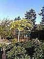 Ginkgo biloba Umbrella - Fächerblattbaum Umbrella - Fossil - Ginko Heilpflanze -