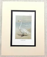 1929 Antique SWAN Print Whooper Swans British Wildlife Birds Vintage Art