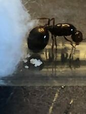 Solenopsis Invicta Queen Ant with Eggs in Test Tube Setup