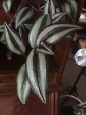 Zimmerpflanzen Paket 4Ableger 2x Tradescantia 1 X Geldbaum 1 X Efeutute