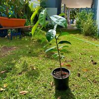 Tropical Fruit SOURSOP TREE Guanábana 1'-2' Tall