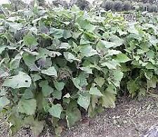 YACON Smallanthus sonchifolius tips RARE tuber