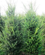 Taxus Baccata Eibe 120-140 cm Höhe. Eiben Hecke. Heimische Heckenpflanzen.