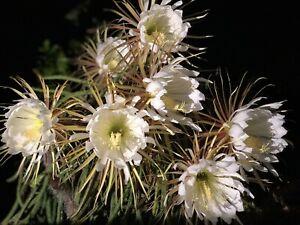 SELENICEREUS GRANDIFLORUS. 3 cuttings ORCHID CACTUS