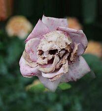 Snapdragon Rosen Schädel  Samen Sehr Selten?!?!?! 00300