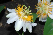 PASSIFLORA SPHAEROCARPA - 10 Seeds