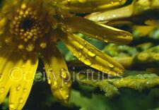 Original 35mm Kodachrome Slide Rose Water Drops on Flower Petals