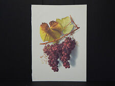 California Grapes, 20th Century Reproduction The Catawba #09