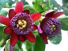 Passiflora quadrangularis Passion Melon 5Seed Perennial Fancy Flower Large Fruit