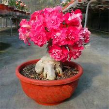5 pcs desert rose rouge adenium obesum flower bonsai seeds #D111