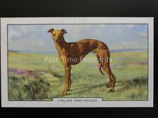 No.29 ITALIAN GREYHOUND - Dogs - 2nd Series by Gallaher Ltd 1938