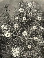 CISTUS PURPUREUS 1894 Botany Flowers Plants Gardens VICTORIAN PRINT