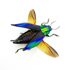 Shiny Green Jewel Beetle Cyphogastra calepyga (Spread) insect collector specimen