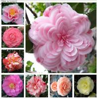 5Pcs Camellia Flower Seeds Rare 5 Kind Perennial Bonsai Beautiful Home Room