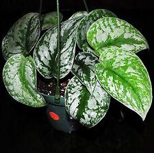 "New Item~Silver Satin Pothos 'Scindapsus Pictus' 5"" Hanging Basket Houseplant"