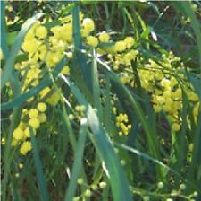 Flower - Acacia retinodes - Water Wattle - 25 Seed