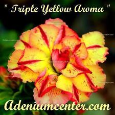 "ADENIUM OBESUM DESERT ROSE TRIPLE FLOWER "" TRIPLE YELLOW AROMA "" 10 seeds"