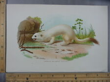 Rare Antique Orig VTG 1897 Ermine Or Large Weasel Mammal Color Litho Art Print