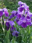 FLOWERS IRISES IRIS 🌼🌸❀🌷 picture virtual postcard #037J1c1 Helena Baru