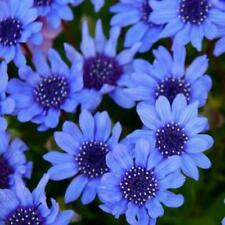Daisy 'The Blues' Seed Annual Striking Flower Low Maint Heat Humidity Tolerant