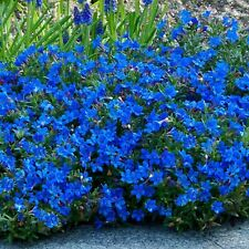 100 Bright Blue Alyssum Seeds Carpet Flower Sweet Boarder Plant Garden Seed 270