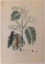 """Acaciae à bois dur, planche de """"La Flore des Antilles"""" de Tussac, 1808"""