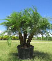 Pygmy Date Palm   Phoenix roebelenii   20 Seeds   (Free Shipping)