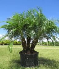 Pygmy Date Palm   Phoenix roebelenii   15 Fresh Seeds   (Free Shipping)