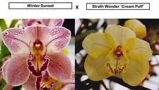 Premium Cymbidium Seedling Flask (10+ plants) Winter Sunset x Strath Wonder