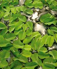 salvinia auriculata plante aquarium nano crevettes betta  bassin flottante