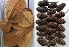 Monthly Special Sale Grade A Medium Size Catappa Leaves & Jumbo Size Alder Cones