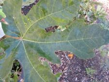 Galicia negra fig tree-2 cuttings/scion wood -  excellent fig