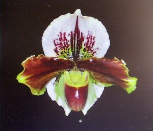 """Paph. Keyeshill (Hillsview x Red Beauty) 20"""" leaf span in a 4-1/2"""" Pot"""