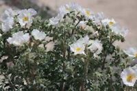 Poppy- Prickly White- 50 Seeds- BOGO 50% off SALE