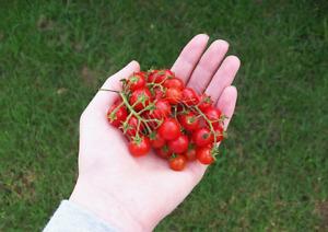 TOMATO 'Sweetie' 35+ seeds HEIRLOOM vegetable garden cherry FRUIT current