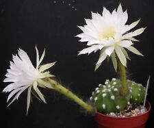 ECHINOPSIS SEMINUDUS/DENUDATA spineless whiteflowers cactus succulent plant 70mm