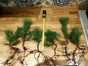 6xScots Pine Pinus Sylvestris Trees Full size/Bonsai Starter! Extra thick stems!